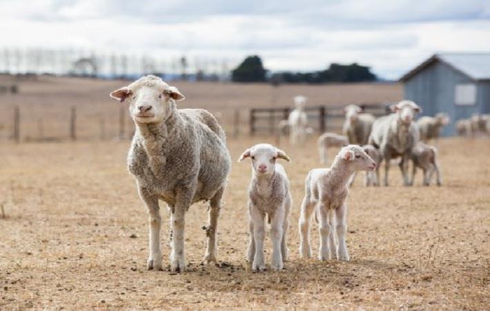 Pic: Australian Wool Innovation