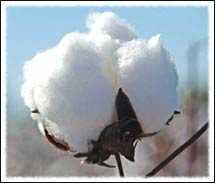 Weekly review of Kalyan cotton commodity