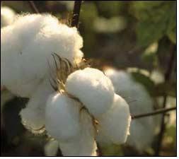 Weekly price report of Kalyan Cotton