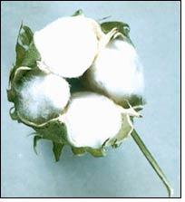 Weekly price review of Kalyan cotton