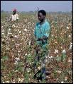 Cotton SA ups production forecast for 2010-11