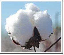 Indian cotton export falls short as the deadline passes by