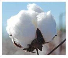 Cotton output to fall & consumption to rise