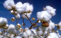 The cotton fiasco