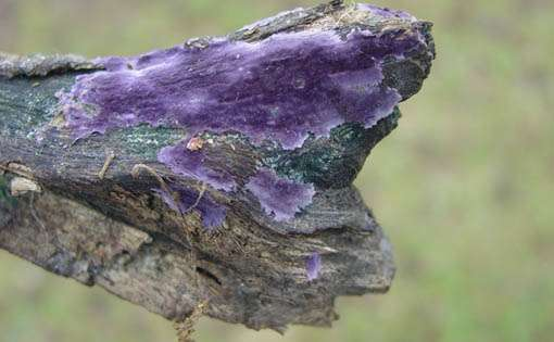 Bioremediation Of Textile Effluent Using Phanerochaete Chrysosporium