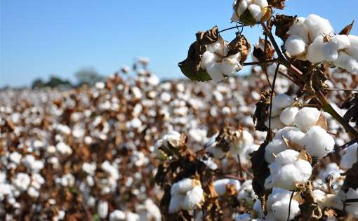 Meltdown blues set to deflate global cotton trade
