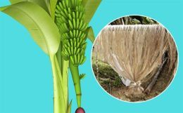Banana fibre: Green apparel of the future