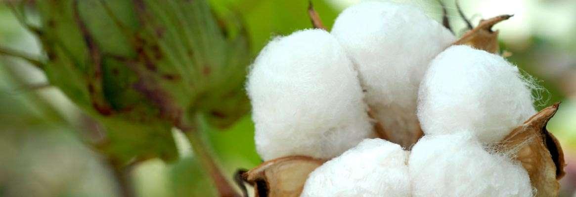 Cotton- Leader in Fibres