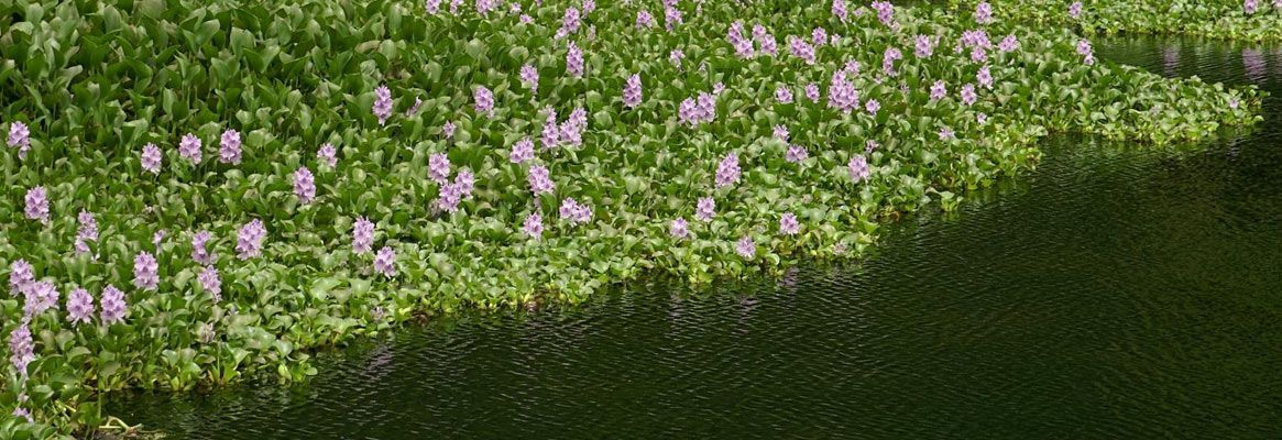 Phytoremediation of textile process effluent by using water hyacinth - A polishing treatment