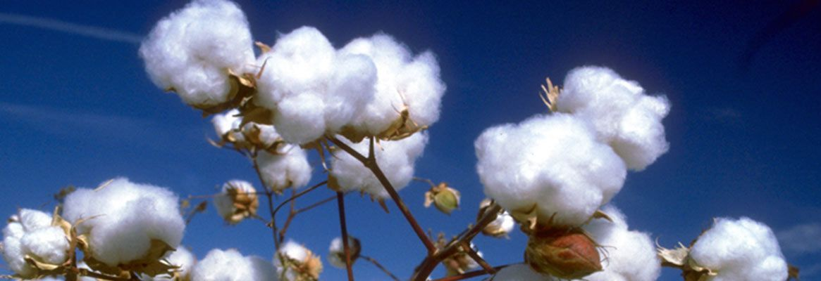 The cotton fiasco