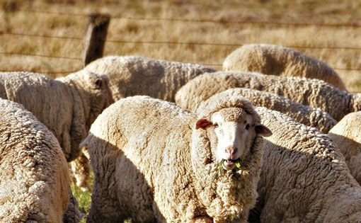 Government Should Stop Pulling Wool Over Eyes?
