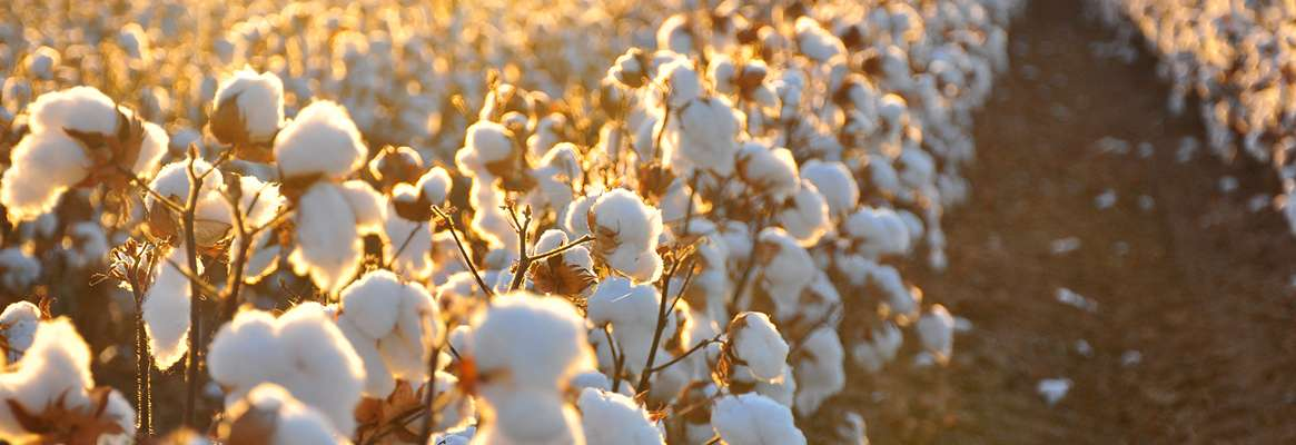 Supima Cotton Carves Profitable Market Niche