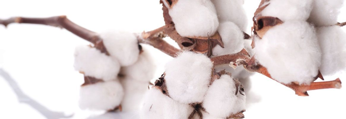 Cotton outlook: potential applications of the King Fibre