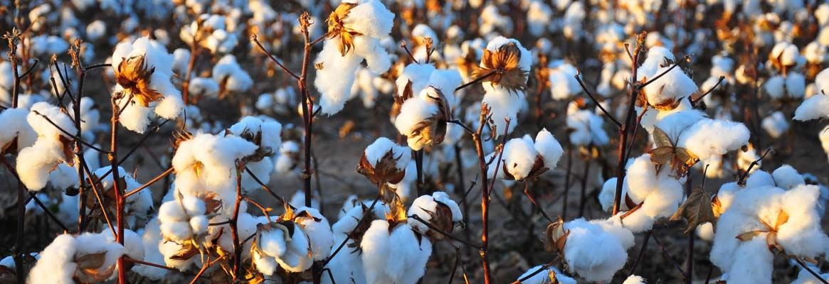 Where will cotton be in 10 years time? A vision for the future