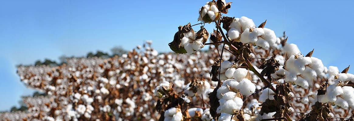 A New Myth of Sisyphus? The Highs and Lows of the Global Price of Cotton