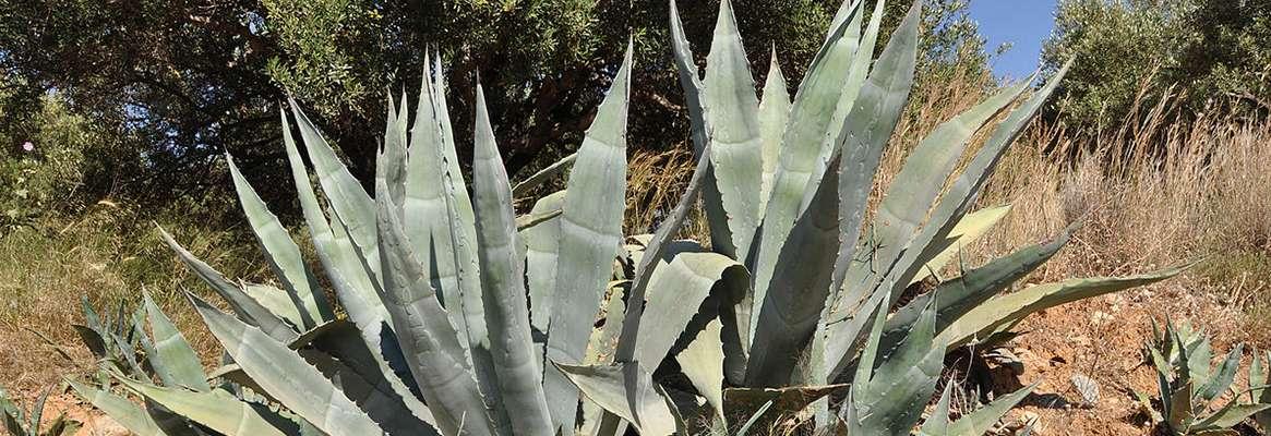 Agave Americana : The Natural Leaf Fiber