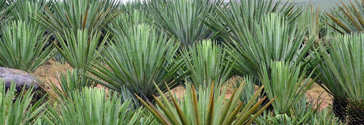 Sisal fibre: The natural option