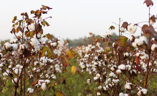 Vidarbha-India-cotton_small